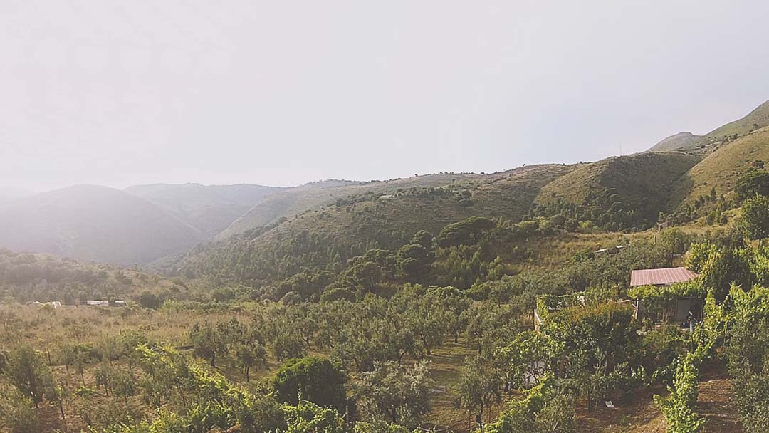 piantagione-olive-gaeta-cosmo-di-russo