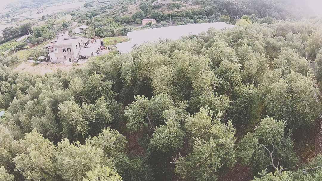 produzione-olive-gaeta-cosmo-di-russo