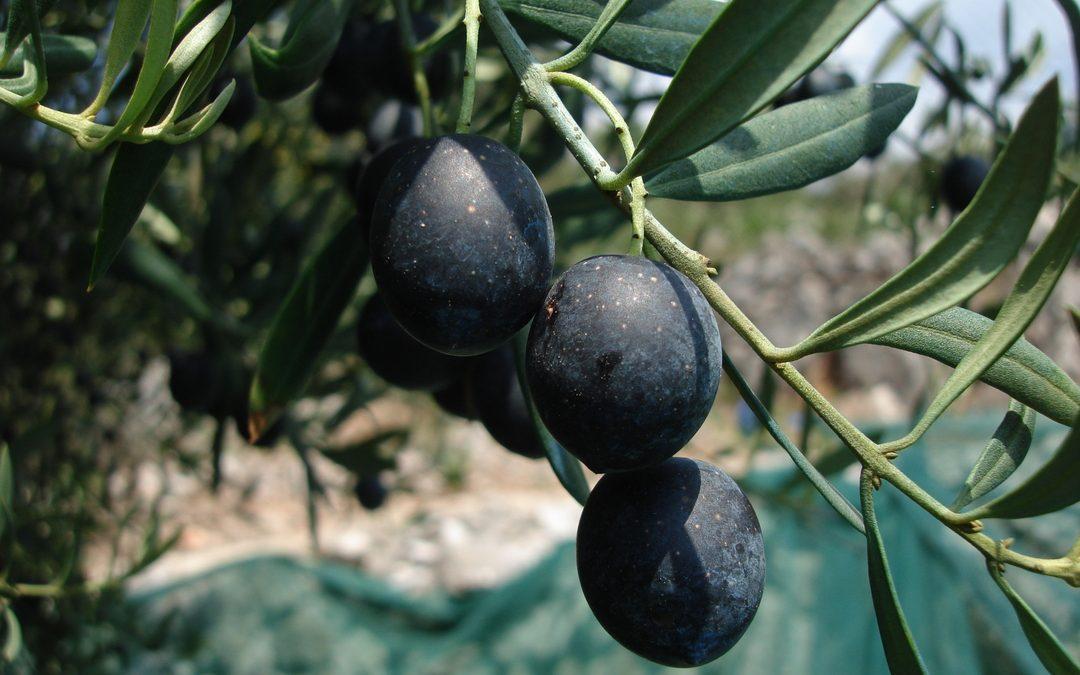 Olive Oil Times parla delle Olive di Cosmo Di Russo